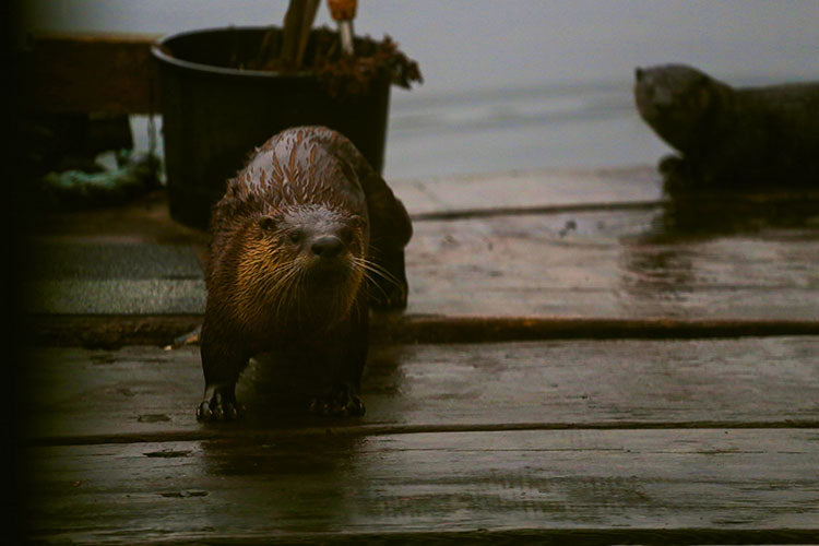Otters on the float boat