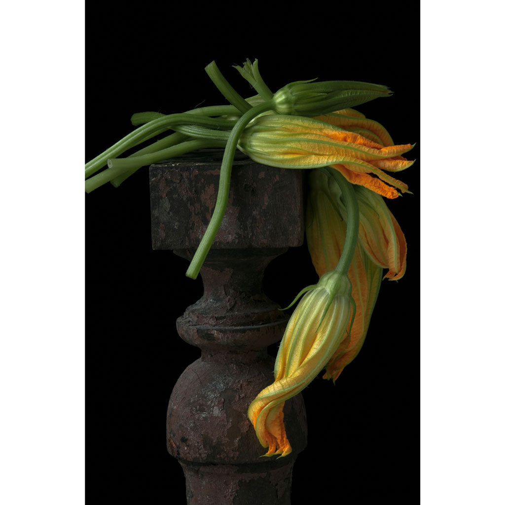 Lynn Karlin's Draped Squash Blossom, Signed & Numbered Print