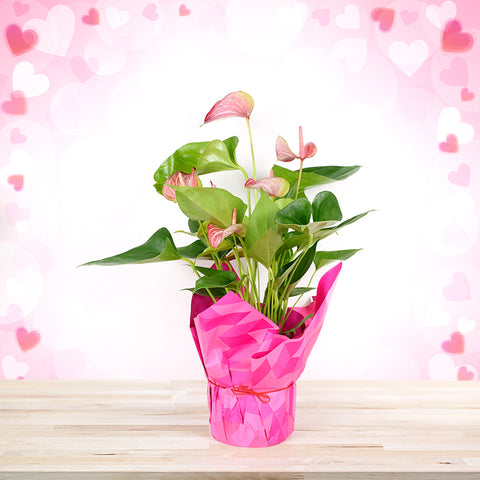 Blushing Pink Anthuriums