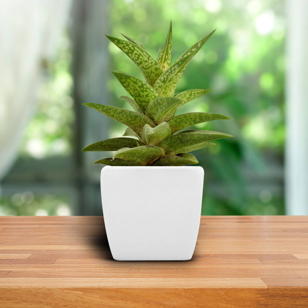 Aloe Potted Plant