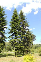 Abeto Siberiano (CS) - Abies sibirica 10 ml.