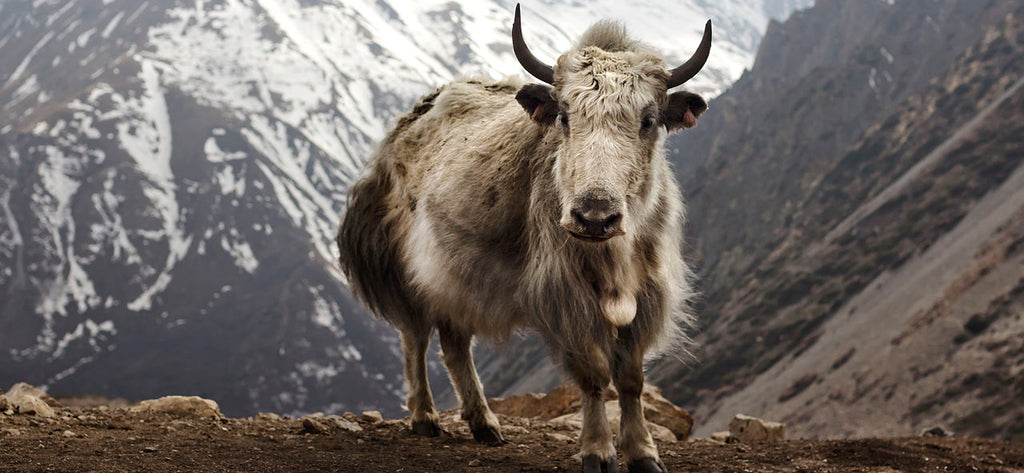 What does Yak Butter Tea, an ancient drink of Himalayan Tibetans, have in common with coconuts?