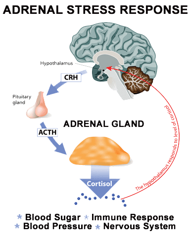 Adrenal Exhaustion and the stress response