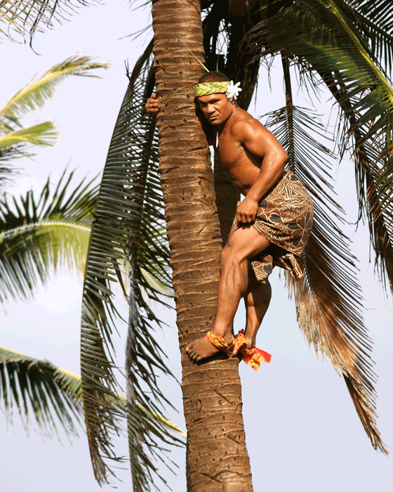 Man climbing coconut tree to collect coconuts for cooking