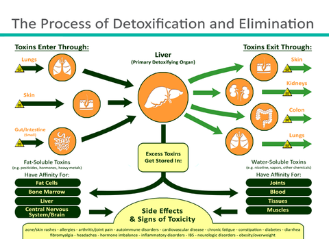 Herbal protection from liver toxicity and inflammation rainforest liver detoxification pathways ccuart Gallery