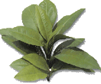 Kacip Fatimah Pueraria Tea 25's - Rainforest Herbs