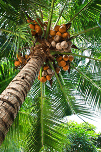 Our VCO is made from organic certified coconut plantations