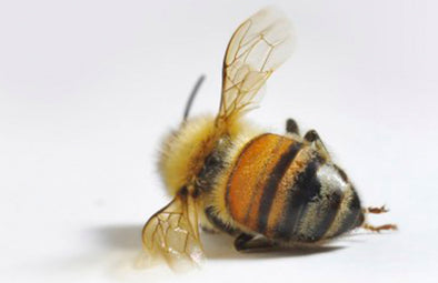 image showing a dead bee