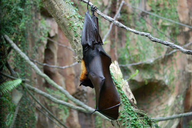 UK bat hanging from a tree