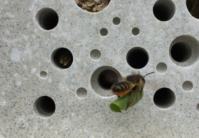 leafcutter solitary bee on bee brick