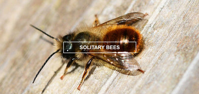About solitary bees