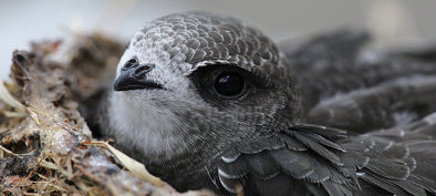 swift in nest