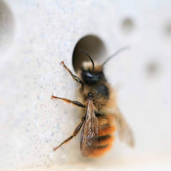 solitary bee resting on bee brick bee house