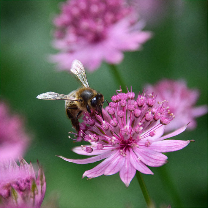 Bee friendly planting ideas bee on flower from great british bee count competition