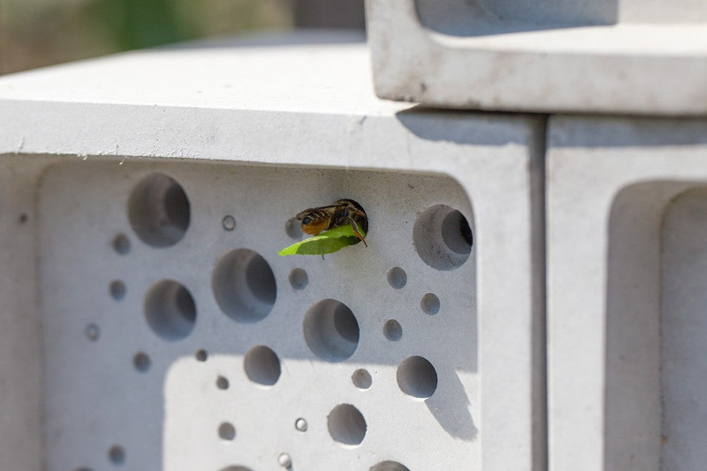 leafcutter solitary bee in bee hotel