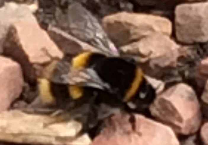 pictures of bee bumble bee