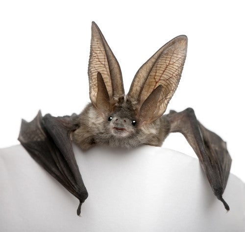 common pipistrelle bats of the uk