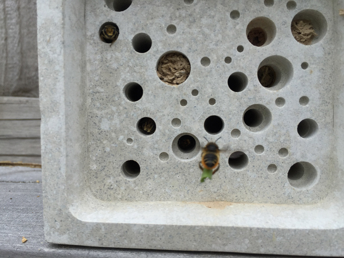 Leafcutter solitary bee on Green&Blue bee block