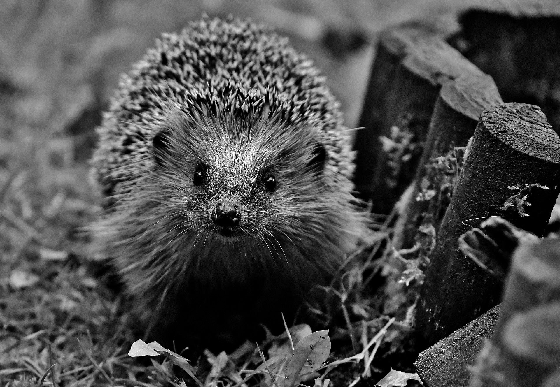 Hedgehog safety for bonfire night