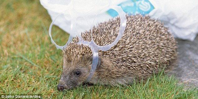 hedgehog trapped in rubbish on streets