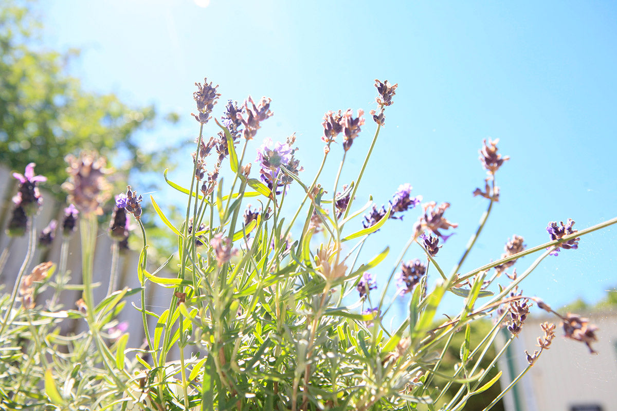 lavender wildflowers in the sun