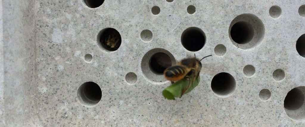 leafcutter solitary bee nesting in bee brick