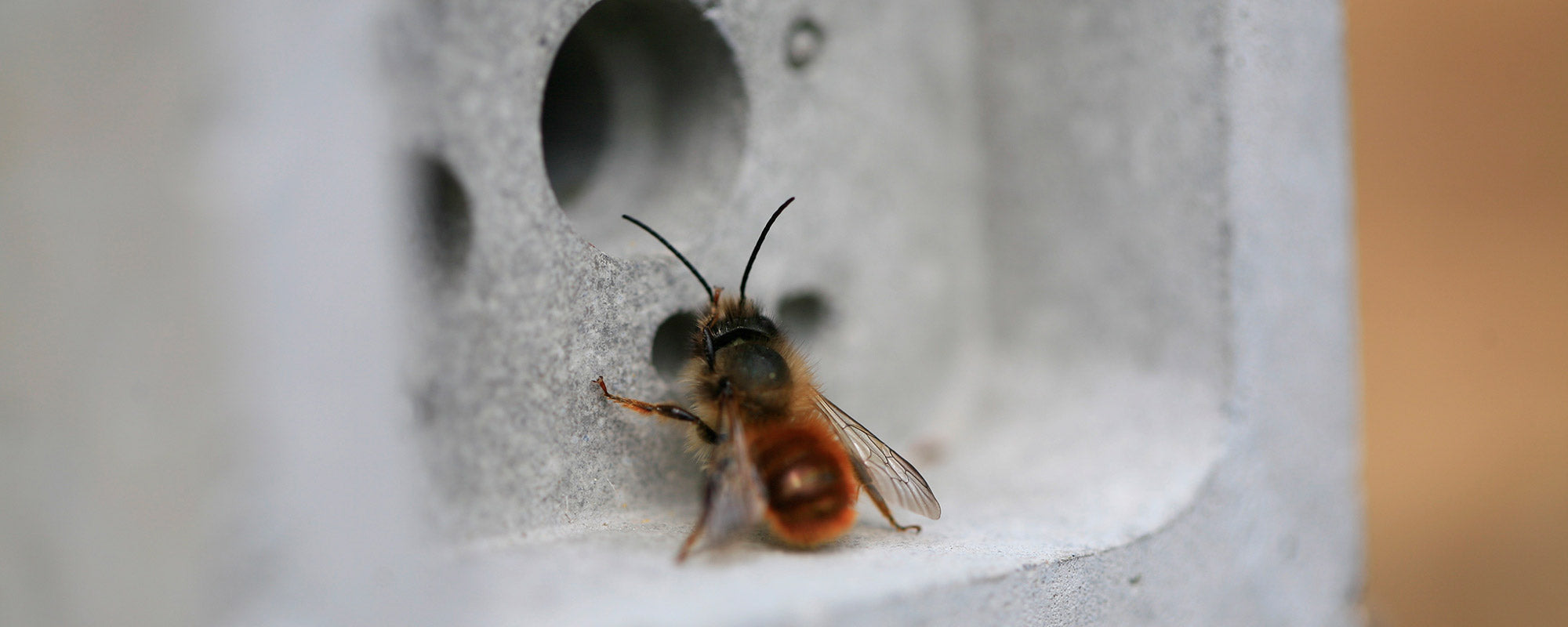 Solitary bee on a bee brick