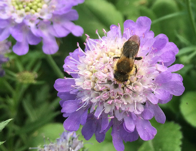 Bee friendly planting from Rosybee research purple flowers with bee