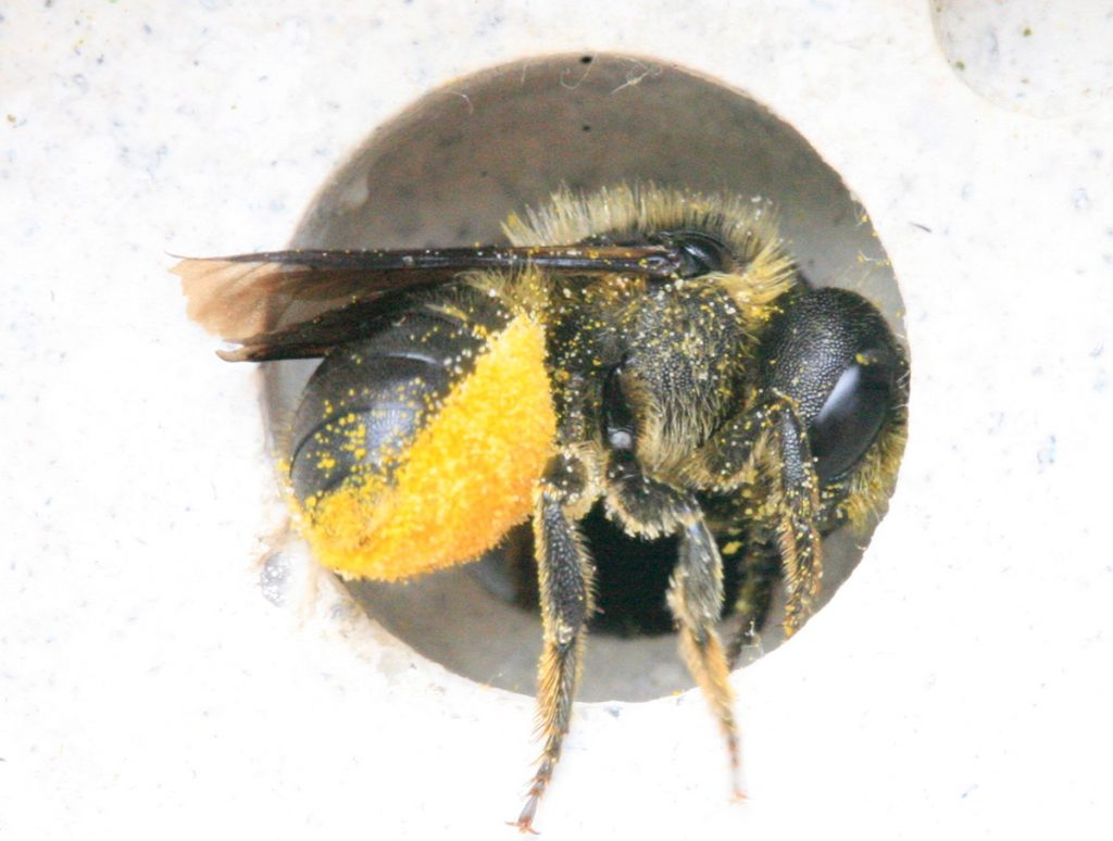leafcutter Wild bee nesting in bee brick