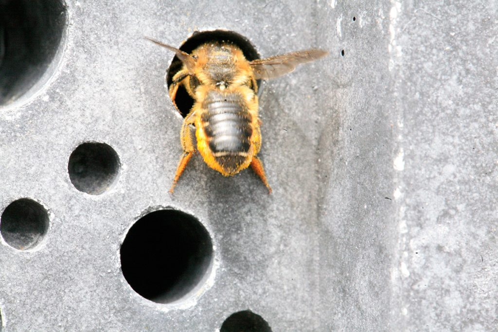 red mason bee in action on a bee brick