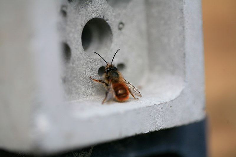 solitary bee at bee brick nest entrance by green and blue