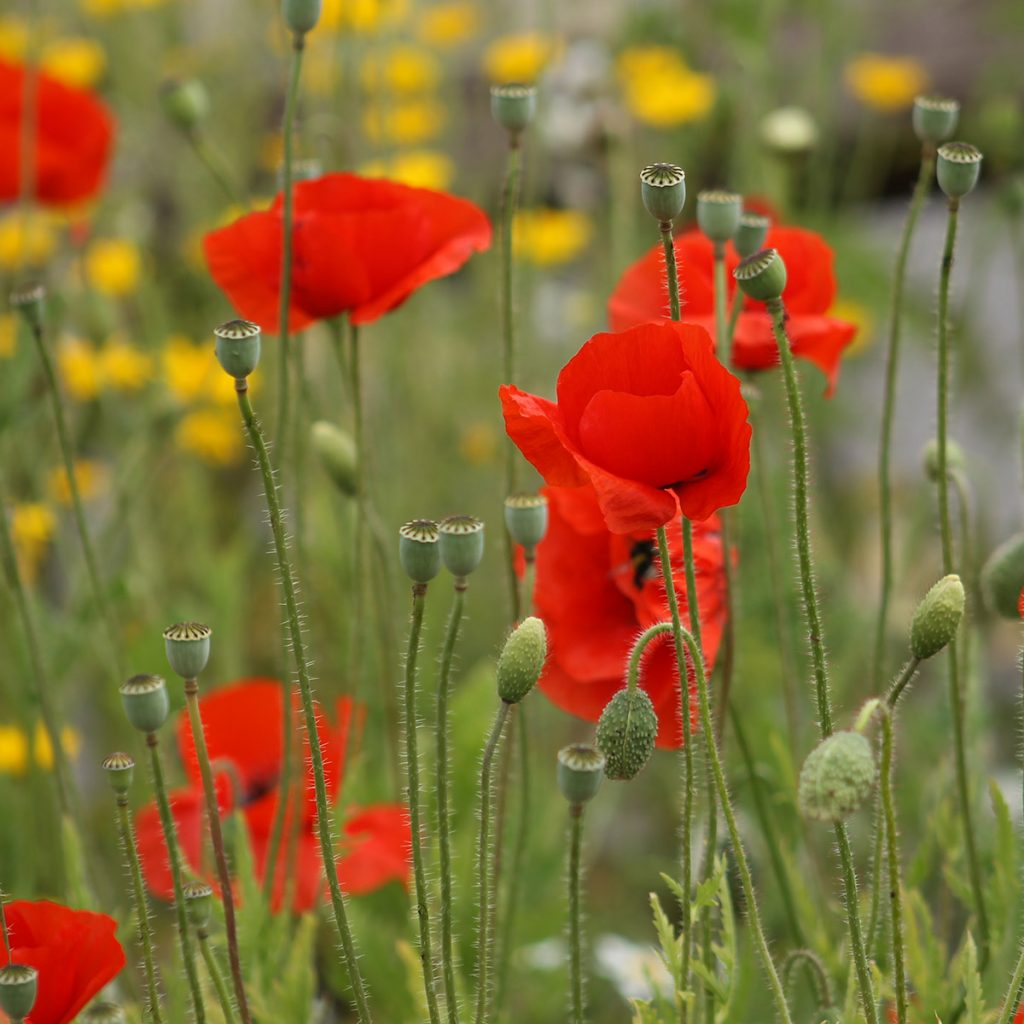 Wildflower poppies for bee friendly gardens