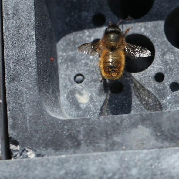 solitary bee nesting on imperfect charcoal bee brick