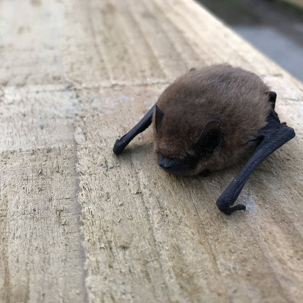 small pipistrelle bat on wooden board