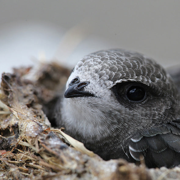 swift shown in nest from swift conservation trust