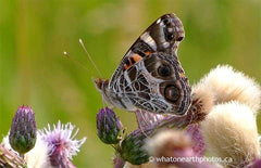 American Lady on Canada Thistle