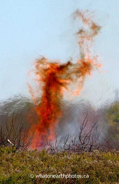 fire dragon, Middlesex County, Ontario