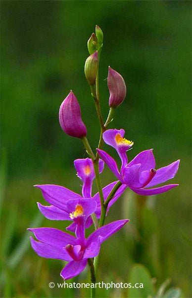 Grass-pink Orchid, London, Ontario