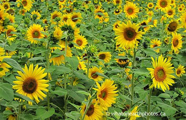 sunflower patch, Ontario