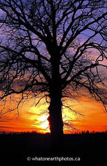 Bur Oak at sunset, Middlesex County, Ontario