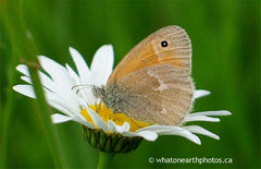 Common Ringlet on Ox-eye Daisy, Ontario
