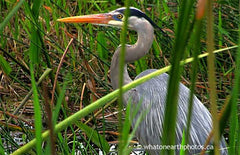Great Blue Heron in breeding plumage, Florida