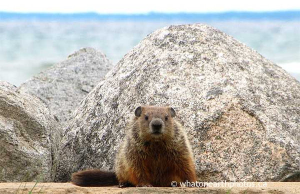 Groundhog beside Georgian Bay, Ontario