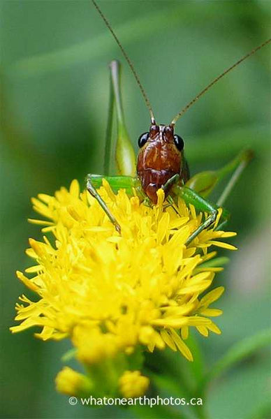 Black-sided Meadow Katydid on goldenrod, Ontario