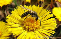 mining bee on Coltsfoot, Ontario
