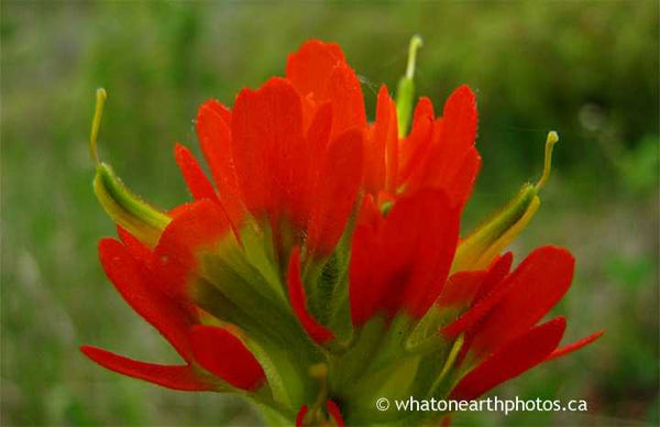 Scarlet Indian Paintbrush, Carden alvar, Ontario