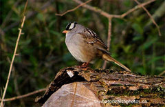 White-crowned Sparrow, Point Pelee, Ontario