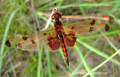 male Calico Pennant, Port Franks, Ontario