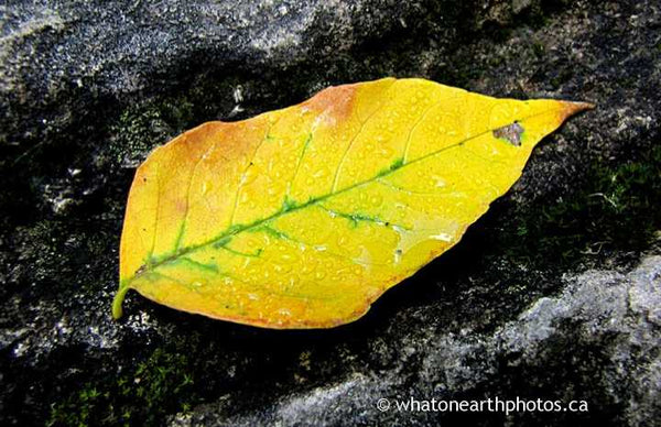 leaf on rock, Rock Glen, Ontario