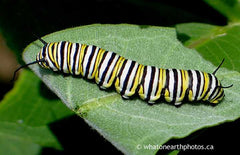 Monarch caterpillar, Rosseau, Ontario